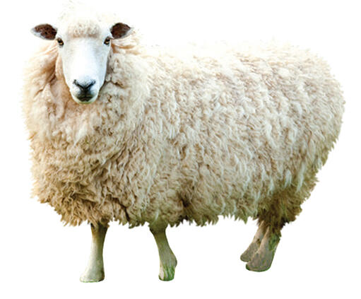 smallsheep